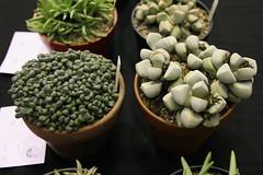Aloinopsis schooneesii, Psammophora nissenii (left to right)
