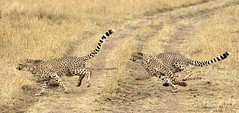 Cheetah Cub Running after Another (John Hallam Images) Tags: cheetah cheetahcub cub running mara masaimara kenya safari