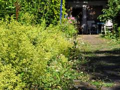 ckuchem-2612 (christine_kuchem) Tags: blte blten einfahrt einfassung frauenmantel garten gartenstaude haus hof landhaus landhausgarten naturgarten pflanzen privatgarten sitzplatz sommer sommerblumen staude stauden staudengarten umrandung gelb naturnah natrlich