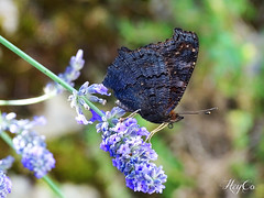 Little trunk (HeyCo Photography) Tags: beautiful black butterfly purple blue flower gathering pollen with its trunk amazing colors nature macro shot by sony