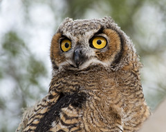 Juvenile Great Horned Owl (Bubo virginianus) (Frank Shufelt) Tags: usa nature phoenix birds desert wildlife az aves northamerica owls birdsofprey greathornedowl strigiformes bubovirginianus strigidae 0297 may2016