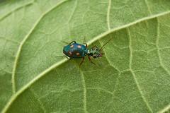 Ground Beetle (Pericalus tetrastigma), Singapore (singaporebugtracker) Tags: iridescent tigerbeetle carabidae bukittimahnaturereserve groundbeetle moonandsun beetlesofsingapore singaporebugtracker ridgedelytra pericalustetrastigma