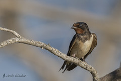 Golondrina comn (Hirundo rustica) (jsnchezyage) Tags: naturaleza bird fauna birding ave hirundorustica golondrinacomn