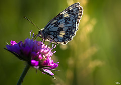 Butterfly...Part III [explore Jul 11, 2016] (roland_lehnhardt) Tags: flowers sunset shadow sun macro green nature up animals butterfly bug insect licht dof close purple bokeh pov portait natur pflanzen violet wiese blumen lepidoptera ef100mmf28 grn falter sonne schatten sonnenstrahlen nahaufnahme insekten sunbeams schmetterling violett schrfentiefe ligh abendlicht tiefenschrfe unschrfe tierportrait amphiesmenoptera eos60d