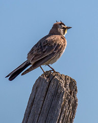 LARK, Horned (teddcenter) Tags: bird hornedlark lark montana musselshellcounty snowymountainroad