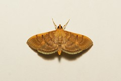 Crambid Moth (Omiodes sp., Spilomelinae, Crambidae) (John Horstman (itchydogimages, SINOBUG)) Tags: china macro insect moth lepidoptera yunnan onwhite trap crambidae itchydogimages sinobug