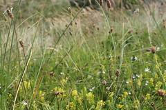 Feld auf Juist (jeddl) Tags: juist feld blume natur insel nordsee fokus gelb brau gras nordseeinsel