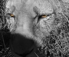 Sarabi (martaD7000) Tags: lion safari