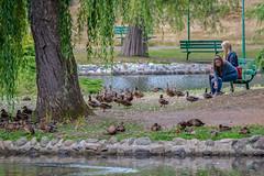 Fine Feathered Friends (ausmc_1) Tags: canada waterfront outdoor britishcolumbia wildlife july ducks victoria vancouverisland waterfowl beaconhillpark d800 2016 nikkor2oo500