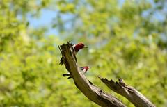 Red-headed Woodpecker (av8s) Tags: ohio nature birds photography woodpecker nikon wildlife sigma oh redheadedwoodpecker oakopenings treeclingingbirds d7100 120400mm