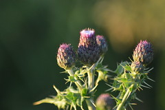 Dawn Thistle (cmw_1965) Tags: light shadow plant flower dawn bokeh thistle daybreak