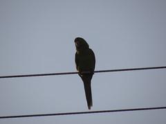 DSC05123 (familiapratta) Tags: sony dschx100v hx100v iso100 natureza pssaro pssaros aves nature bird birds novaodessa novaodessasp brasil