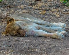 Sleeping It Off (MarcCooper_1950) Tags: lion lioness africa wild wildlife bush safari bigfive predator bigcats biggame animals feline fauna goldenhour sabisands arathusa lodge marccooper panasonic lumix fz1000 leica iightrrom hdr