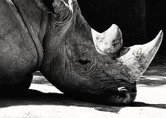 Horn (gemma1213) Tags: rhino rinoceronte rinoceront rhinocros animals animales animaux horn cuerno corne zoo paris