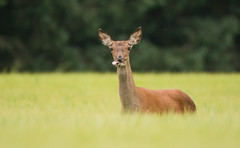 Red Deer (Wouter's Wildlife Photography) Tags: reddeer deer nature wildlife animal mammal billund cervuselaphus krondyr pattedyr