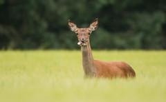 Red Deer (Wouter's Wildlife Photography) Tags: reddeer deer nature wildlife animal mammal billund cervuselaphus krondyr pattedyr