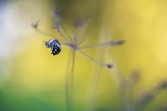 Parles  mon C... ma tte est malade... (Hexilene) Tags: macro nature macrodreams passion proxy plante proxi lumire sigma nikon nikond750 nikonpassion insecte jaune green blueribbon bokey