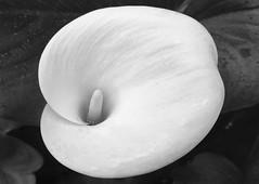 Calla Lily (patia) Tags: california lg calla lily flower