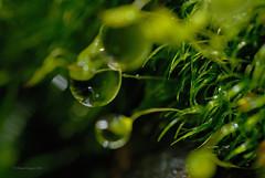 Regen im Moos 3 (DianaFE) Tags: dianafe wasser outdoor tropfen wassertropfen regen makro tiefenschrfe schrfentiefe freihandmakro pflanze moos