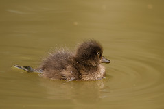 Little-Duck4586 (Kulama) Tags: littleduck duck birds nature wildlife water summer canon7d sigma150600c563