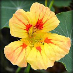 Nose Tweaker (Trev Grant) Tags: nasturtium flower tropaeolum