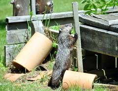 DSC_0196 (rachidH) Tags: rodents marmot groundhog woodchuck marmotamonax marmotte sparta nj rachidh nature
