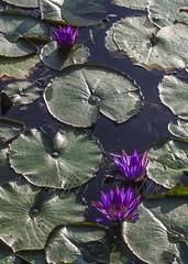 Víziliom (Delfinibi) Tags: magyarország mzuiko hungary ungarn virág lila zöld vízililiom tavirózsa purple green olympusepl5 olympus outdoor olympusm1442mmf3556iir nature natur növény nyár natural flore flower fleur tó lake hévíz waterlily 100v10f epl5