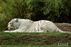 Tigre blanc - Zoo La Fleche - 20160817 (0940) (laurent lhermet) Tags: sel55210 zoo zoodelafleche tigre tigreblanc