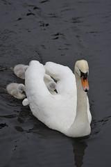 Swan family on the move (Pim Stouten) Tags: zwaan swan labut cygnus cygnusolor witswaan hckerschwan schwan muteswan bird oiseau ptk vogel vol watervogel waterbird chick kuiken kken jong young