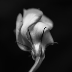 MM - A Flower in Black & White (belincs) Tags: 2016 august lincolnshire macromondays uk blackbackground flash flowerinblackwhite indoor macro squarecrop