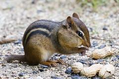 Chipmunk (Brian E Kushner) Tags: chipmunk squirrel newjersey audubon nikon d500 nikond500 backyardanimals bkushner backyard wildlife audubonnj animals ©brianekushner afs nikkor 200500mm f56e ed vr nikonafsnikkor200500mmf56eedvr
