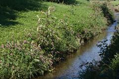 ckuchem-7975 (christine_kuchem) Tags: bach blte springkraut ufer wildpflanze drsiges gewsser nichtheimisch rosa