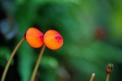 ペアルケア・ヒポキルティフローラ/  Pearcea hypocyrtiflora (nobuflickr) Tags: 20160702dsc03926 ペアルケア・ヒポキルティフローラ pearceahypocyrtiflora イワタバコ科ペアルケア属 awesomeblossoms