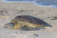 Sea turtle taking a break! (RaulCano82) Tags: sea seaturtle turtle ocean hawaii hi usa beach islandofhawaii greenseaturtle four seasons