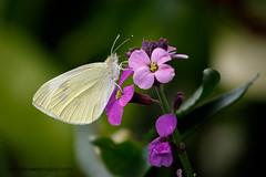 Small White (Explored 16 August 2016) (ABPhotosUK) Tags: animals butterflies canon dartmoor devon ef100400mmisii ef25mmextensiontube eos7dmarkii garden invertebrates lepidoptera macro pieridae pierisrapae smallwhite wildlife