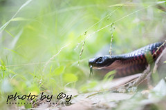 Red-bellied black snake (Pseudechis porphyriacus) (peter soltys) Tags: petersoltys photo photography herping wildlife adventure trips redbelliedblacksnake pseudechisporphyriacus snake red reptilia reptile awesome