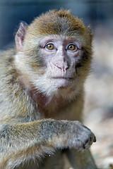 Macaque looking cool (Tambako the Jaguar) Tags: portait posing cool attentive face macaque barbary monkey primate cute jonskleinefarm kallnach bern zoo switzerland nikon d5