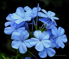 Bluetiful Plumbago (AngelVibePhotography) Tags: garden blossoms nikon blue flower plumbago macro blossom nature closeup flowers northcarolina nikonp900 outdoor photography plant