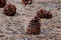 Pinus jeffreyi (Jeffrey Pine) cones and dropped needles (birdgal5) Tags: california shastacounty lassenvolcanicnp lassenvolcanicnationalpark a48 manzanitalakecampground nativetree gymnosperm pinaceae needles cone jeffreypine pinus pinusjeffreyi nikon d4 nikond4 300mmf4dafs inaturalistorg