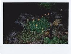 Plants among the ice pellets (Matthew Paul Argall) Tags: instaxwide instax instantfilm instax210 garden frontyard hail icepellets