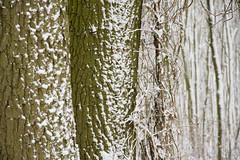 ckuchem-1654 (christine_kuchem) Tags: baumrinde buche bume eiche eis frost hainbuche natur pfad pflanzen ruhe samen spuren stille struktur wald weg wildpflanzen winter einsam kalt schnee ste