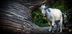 Portrt einer Ziege (livifee) Tags: portrt portrait goat ziege tierpark baumstamm