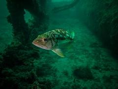PA060460.jpg (Michael Bartosek) Tags: olympusepl3 catalinaisland olympus1442mm underwater catalina diving california pacificocean