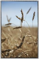 Ready for Harvest (brentus69) Tags: alberta canada farm country nature harvest pipestonecreektrail nikon d4 nikond4 wheat grain readyforharvest bokeh