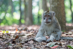 Monkey Business (©skarson) Tags: bali ubud asia indonesia monkey animal animals bokeh canon canoneos6d eos 6d canonef135mmf2l 135mm forest sacredmonkeyforestsanctuary