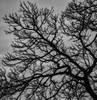 Chatter in the tree (Eric@focus) Tags: bw tree bird blackwhite nikon 500v20f noiretblanc nik magpie eurasian chatter photoshopelements greatphotographers blackwhitephotos colorefexpro d7100 viveza sharpenerpro neroametà silverefexpro distinguishedblackandwhite