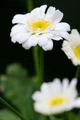 Tanacetum parthenium (Feverfew) (KeithABradley) Tags: exotic herb asteraceae feverfew matricariaparthenium tanacetumparthenium dicots chrysanthemumparthenium