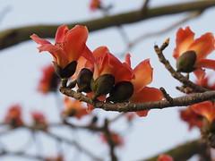 A_1040541 (ming-©hi) Tags: travel blossom olympus em1 ceiba m43 zd mzd bombax micro43 40150mmf28