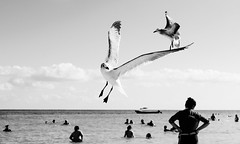 Dancing in the air (Fernando Augusto Valds) Tags: sunset sky people blackandwhite naturaleza seagulls bird blancoynegro nature colors beautiful birds silhouette swimming mexico libertad freedom wings nikon dancing seagull air silhouettes playadelcarmen free beachlife aves gaviotas bnw bailando marinas naturelovers sunsetlovers fernandoaugustovalds