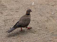 African Mourning Dove (Streptopelia decipiens) Angolaturteltaube (jaffles) Tags: holiday southafrica wildlife olympus safari np sdafrika kruger krger